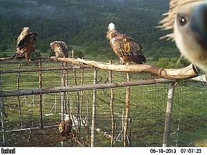 Вършец - Долно Озирово - Белоглави лешояди